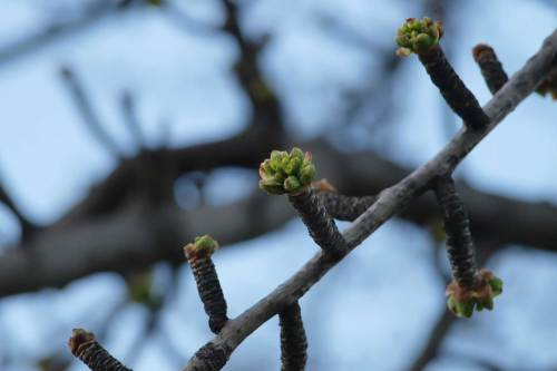 Budding tree in Central Park